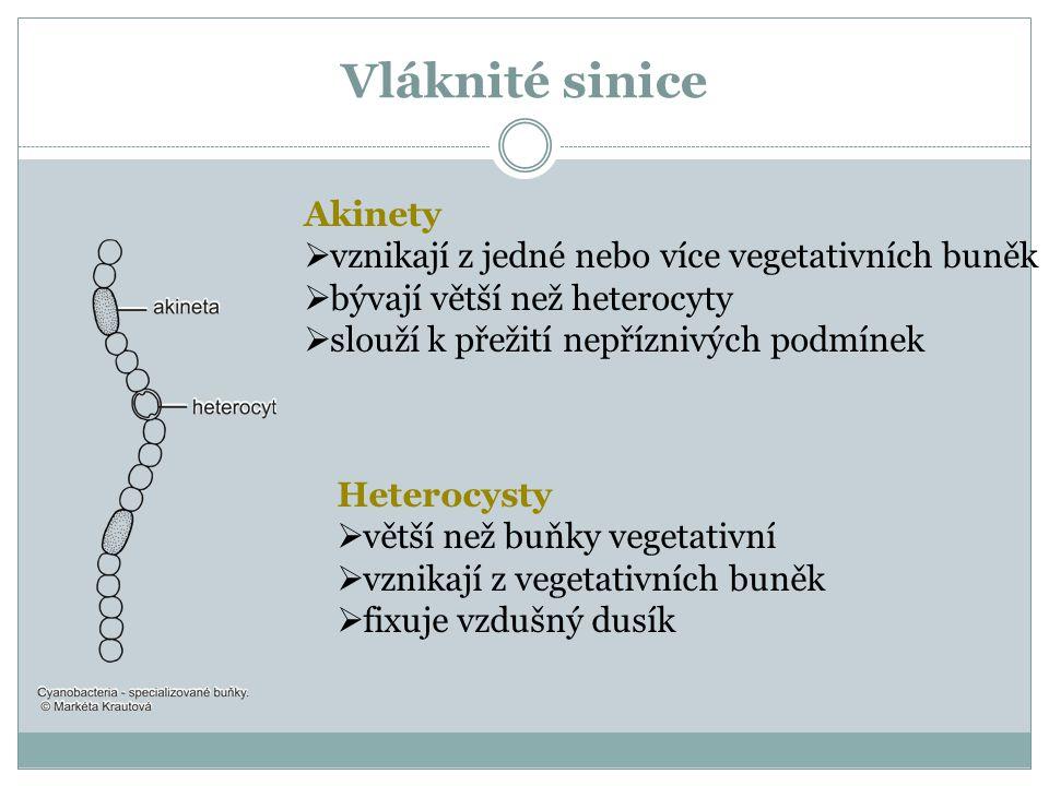 Vláknité sinice Akinety vznikají z jedné nebo více vegetativních buněk