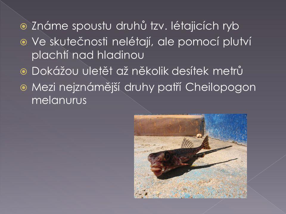 Známe spoustu druhů tzv. létajicích ryb