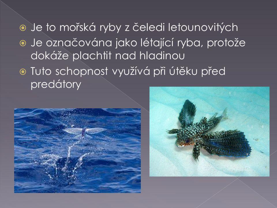 Je to mořská ryby z čeledi letounovitých