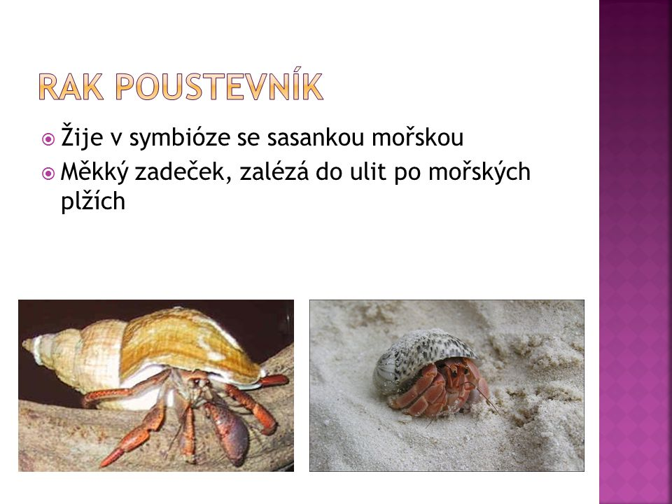 Rak poustevník Žije v symbióze se sasankou mořskou