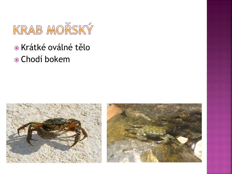 Krab mořský Krátké oválné tělo Chodí bokem