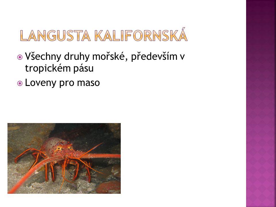 langusta kalifornská Všechny druhy mořské, především v tropickém pásu