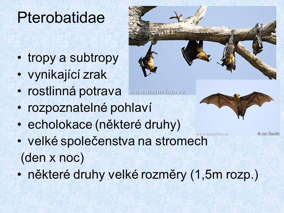 Pterobatidae tropy a subtropy vynikající zrak rostlinná potrava