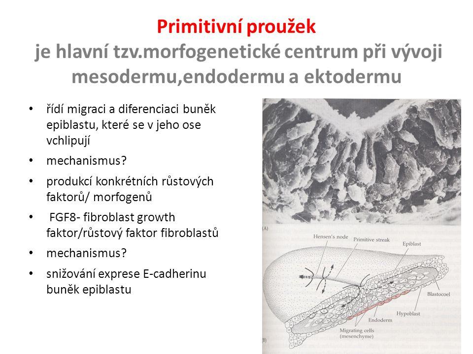 Primitivní proužek je hlavní tzv.morfogenetické centrum při vývoji mesodermu,endodermu a ektodermu.