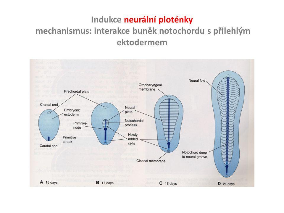 Indukce neurální ploténky
