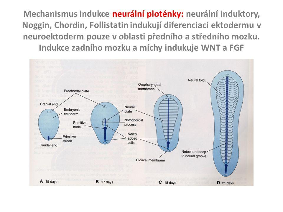 Indukce zadního mozku a míchy indukuje WNT a FGF