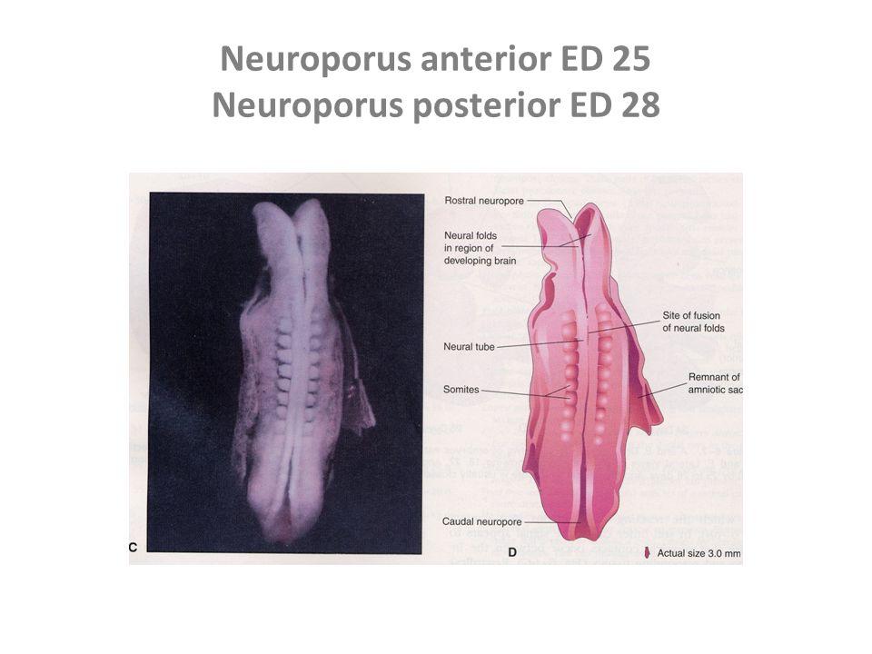Neuroporus anterior ED 25 Neuroporus posterior ED 28