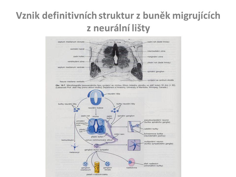 Vznik definitivních struktur z buněk migrujících z neurální lišty