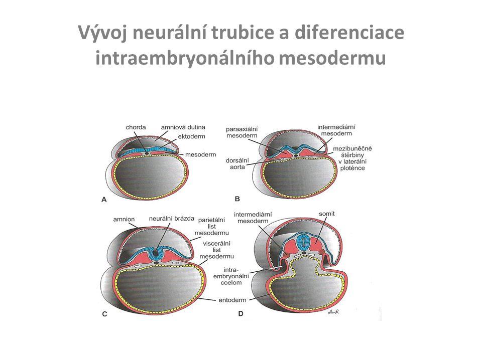Vývoj neurální trubice a diferenciace intraembryonálního mesodermu