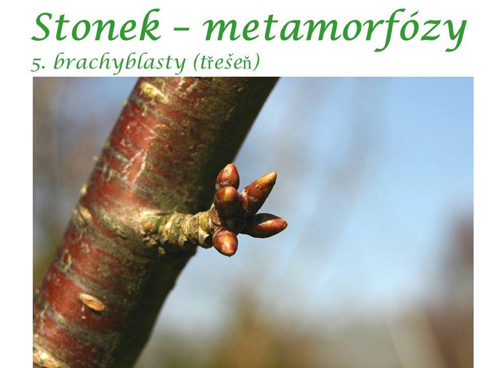 Stonek – metamorfózy 5. brachyblasty (třešeň) autor: Sten Porse