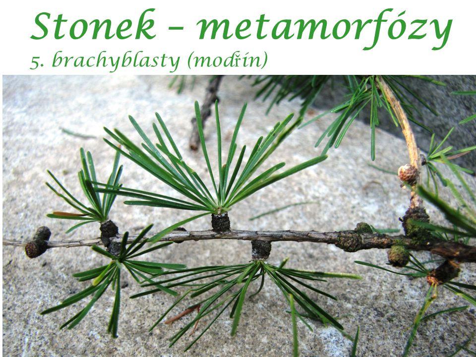 Stonek – metamorfózy 5. brachyblasty (modřín) autor: Jan Marek