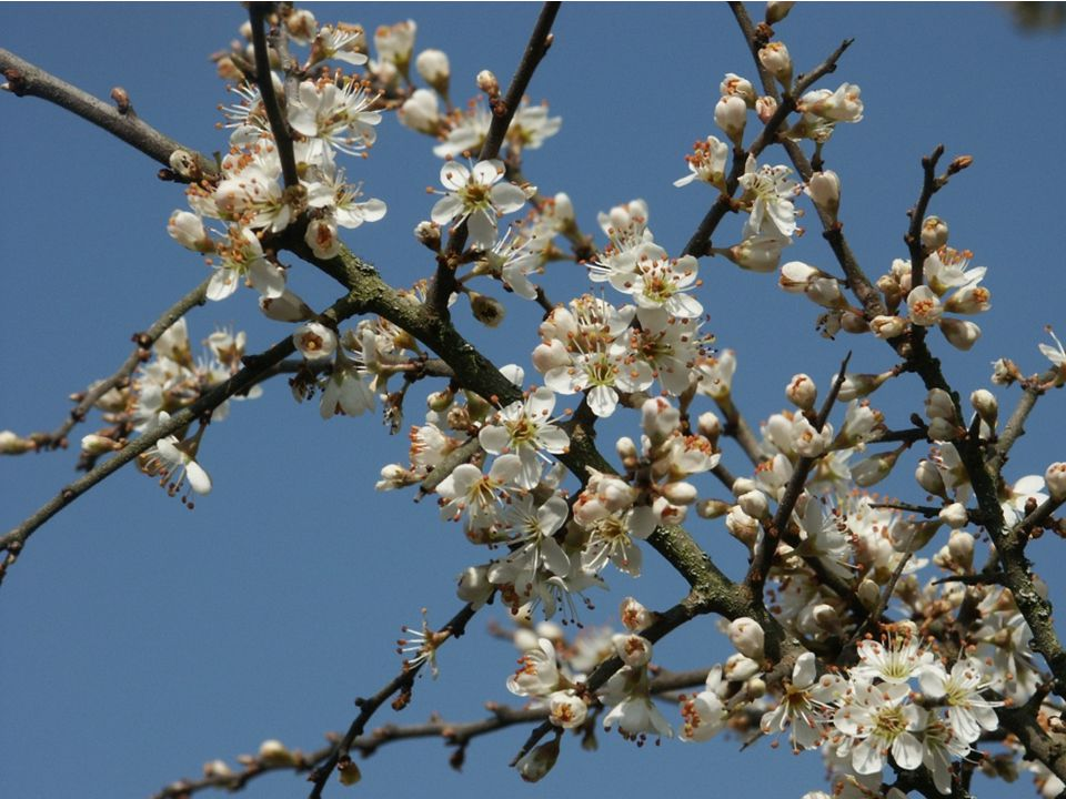 autor: BerndH http://upload.wikimedia.org/wikipedia/commons/e/eb/Prunus_spinosa_130403.jpg