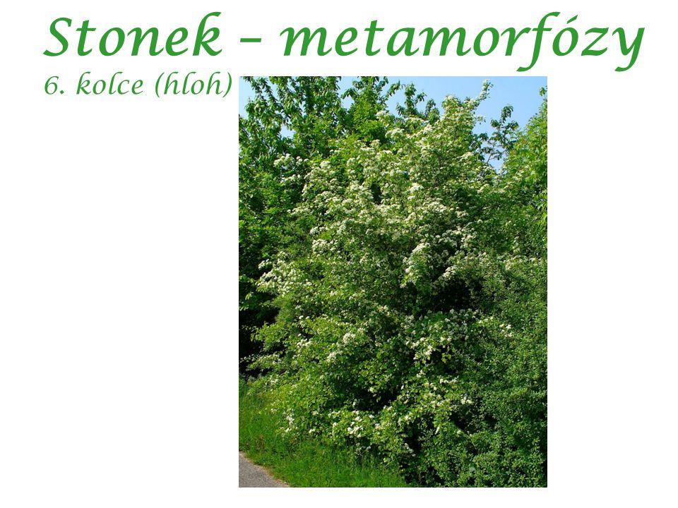Stonek – metamorfózy 6. kolce (hloh) autor: H. Zell