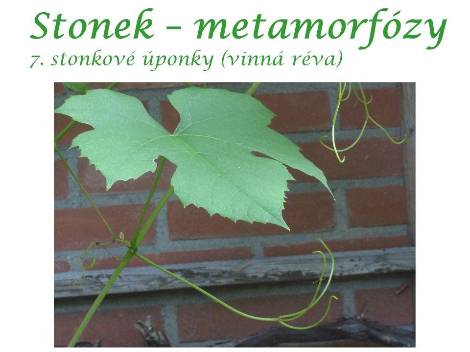 Stonek – metamorfózy 7. stonkové úponky (vinná réva) autor: Rasbak
