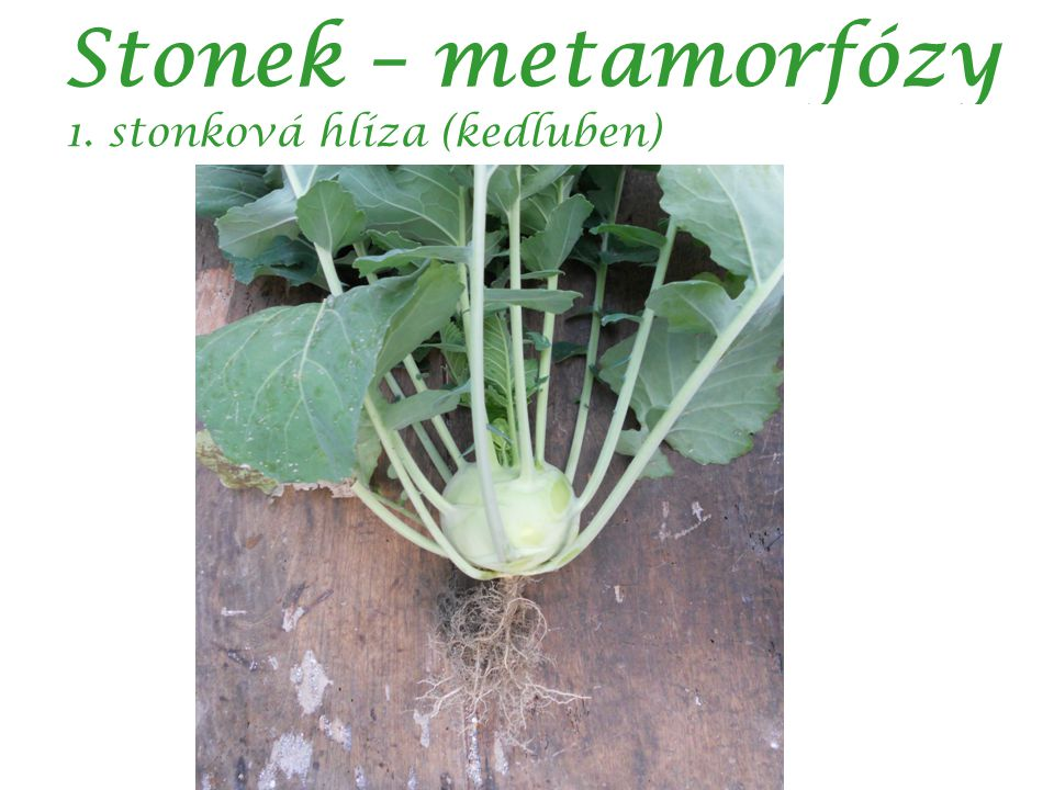 Stonek – metamorfózy 1. stonková hlíza (kedluben) autor: Kaushik Das