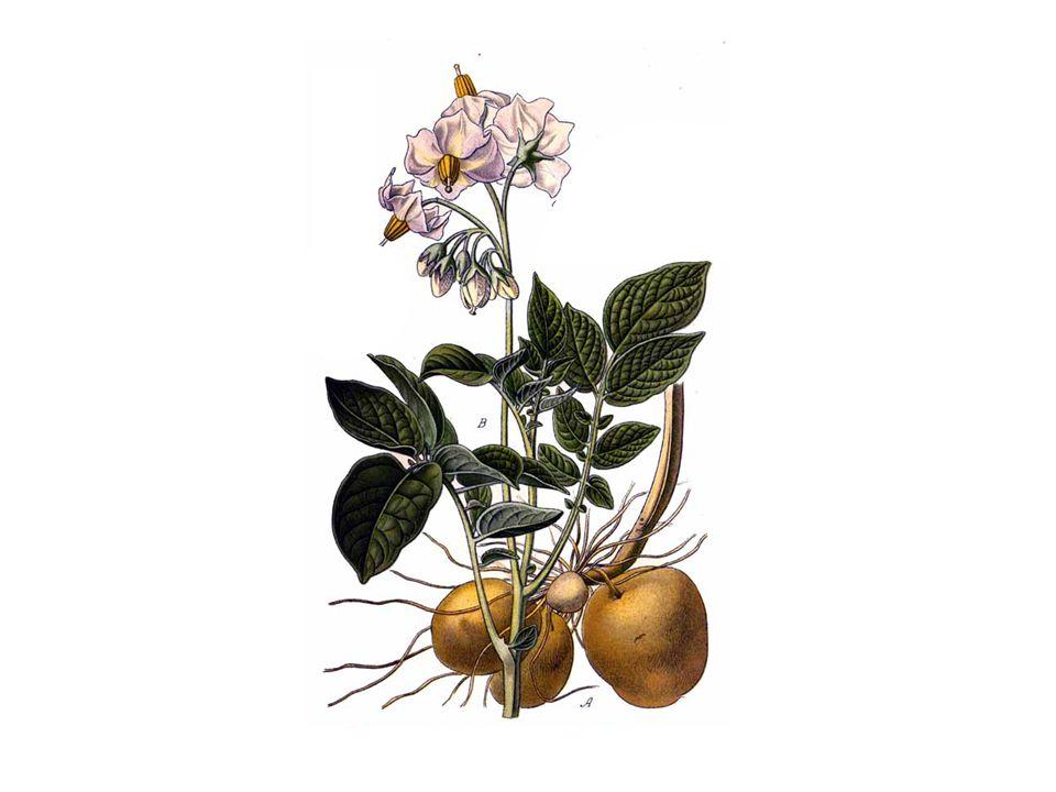 autor: Amédée Masclef http://upload.wikimedia.org/wikipedia/commons/a/a3/234_Solanum_tuberosum_L.jpg.
