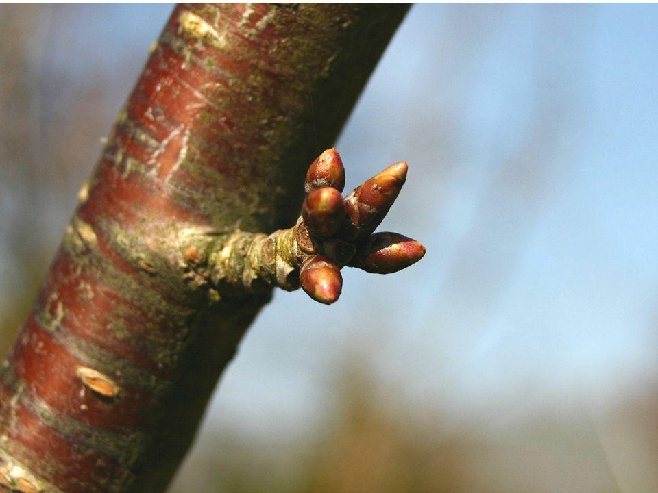 autor: Sten Porse http://upload.wikimedia.org/wikipedia/commons/5/56/Prunus-avium-flowerbuds.JPG