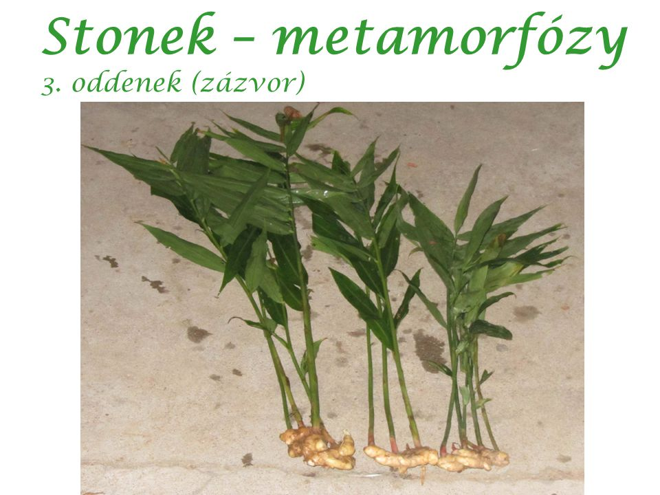 Stonek – metamorfózy 3. oddenek (zázvor) autor:Sengai Podhuvan