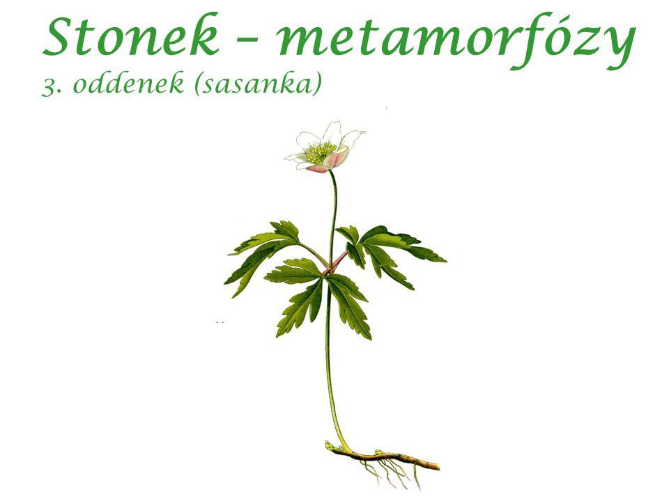 Stonek – metamorfózy 3. oddenek (sasanka)