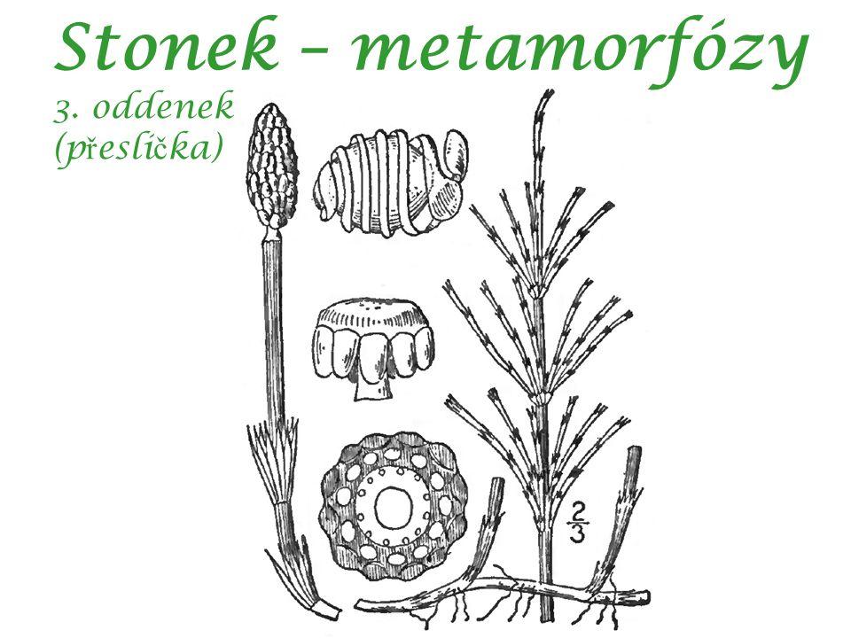 Stonek – metamorfózy 3. oddenek (přeslička)