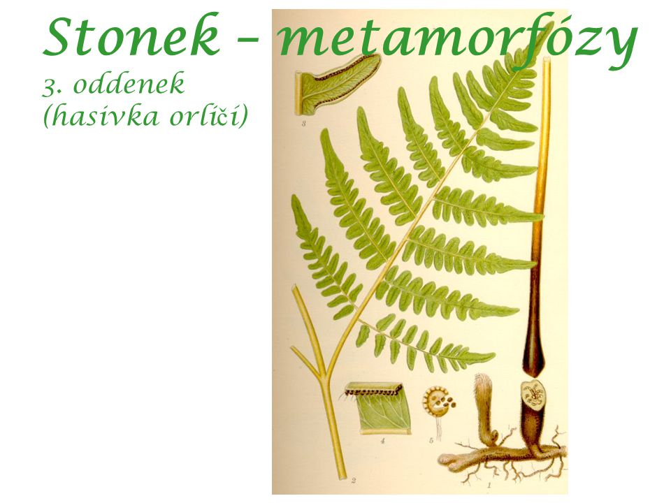 Stonek – metamorfózy 3. oddenek (hasivka orličí)
