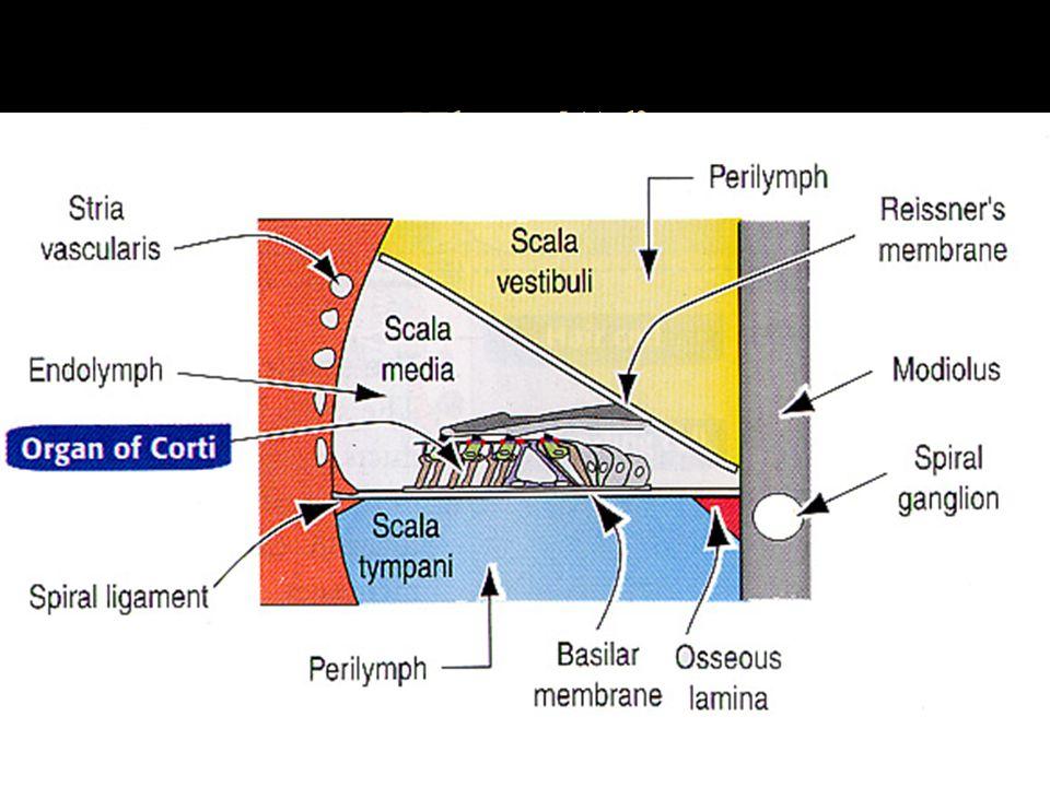 Hlemýžď scala vestibuli membrana vestibuli (Reisneri) scala media