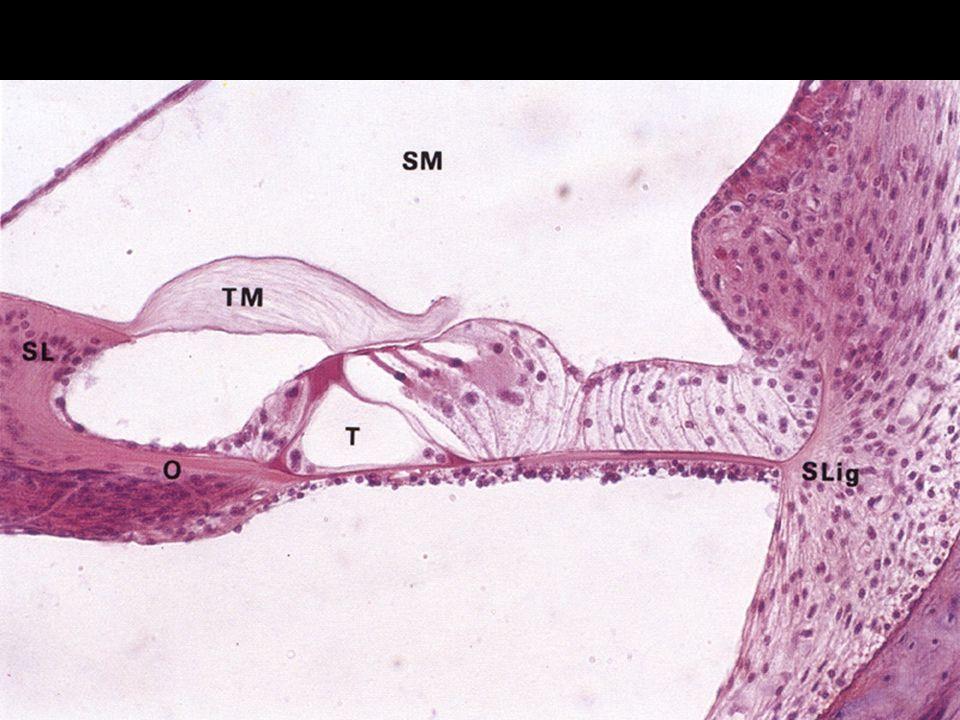 Cortiho orgán vláskové buňky vnější a vnitřní na povrchu stereocilie