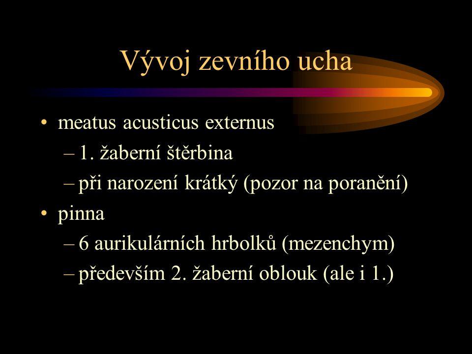 Vývoj zevního ucha meatus acusticus externus 1. žaberní štěrbina