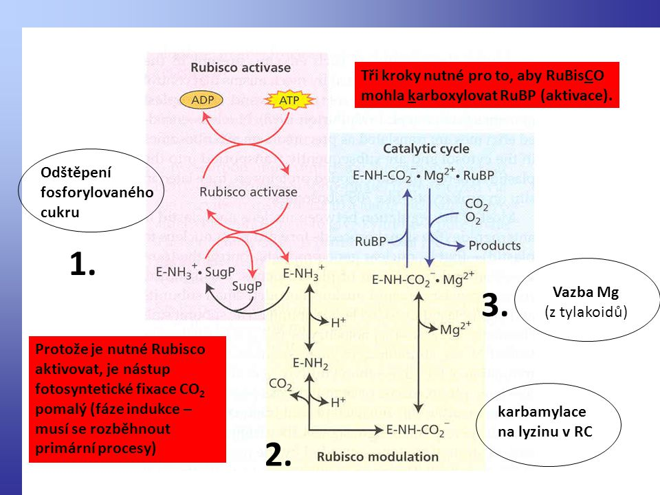 1. 3. 2. Tři kroky nutné pro to, aby RuBisCO