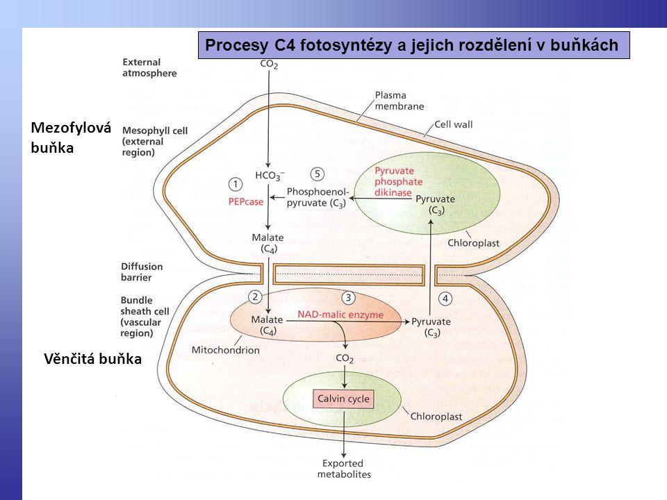 Procesy C4 fotosyntézy a jejich rozdělení v buňkách