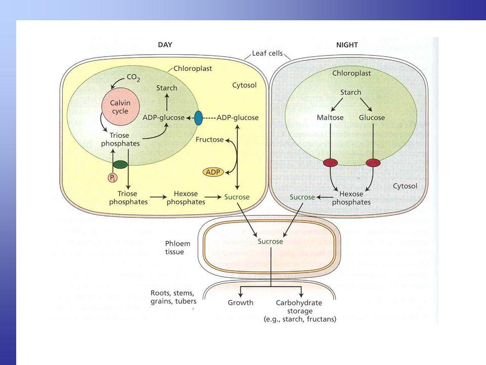 Sucrose = sacharóza, disacharid glukóza + fruktóza (dvou šestiuhlíkatých cukrů)