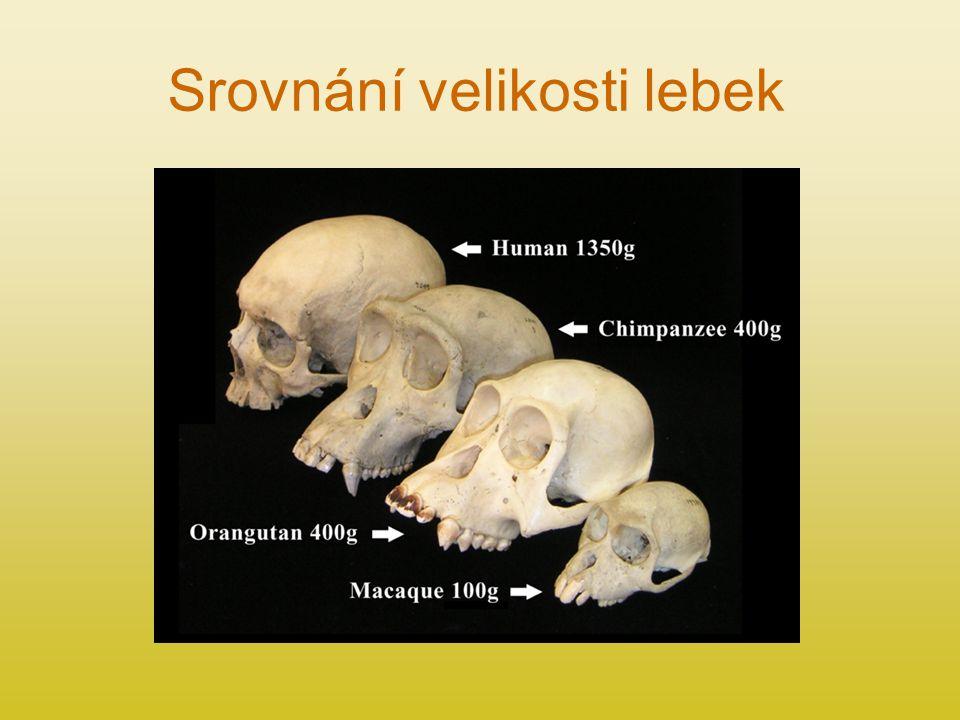 Srovnání velikosti lebek