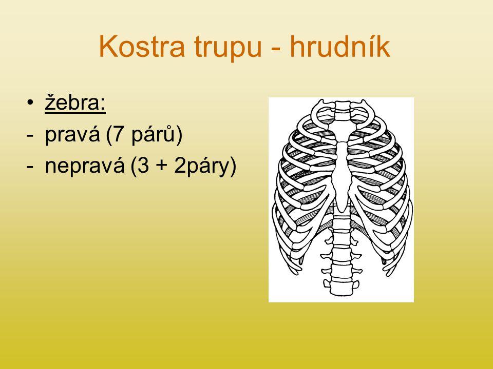 Kostra trupu - hrudník žebra: pravá (7 párů) nepravá (3 + 2páry)