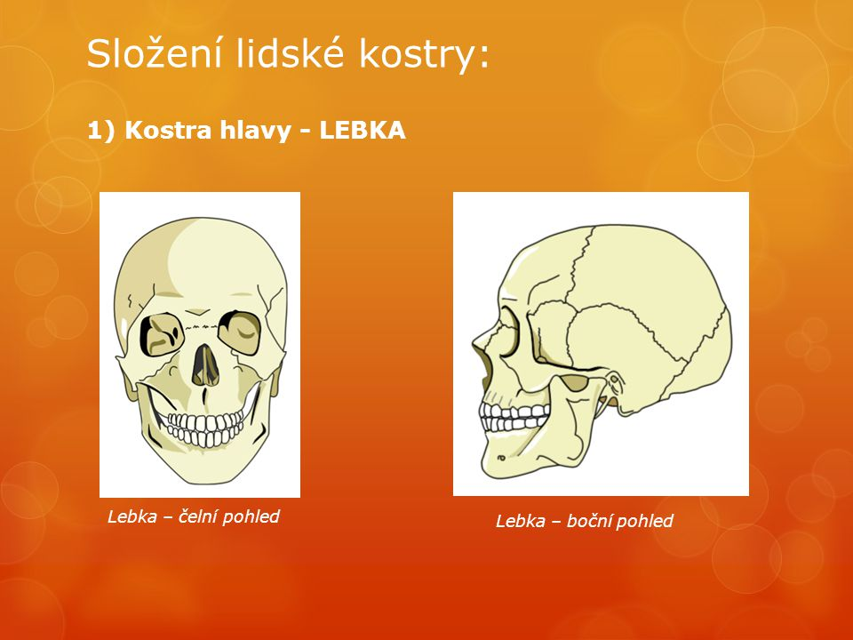 Složení lidské kostry: