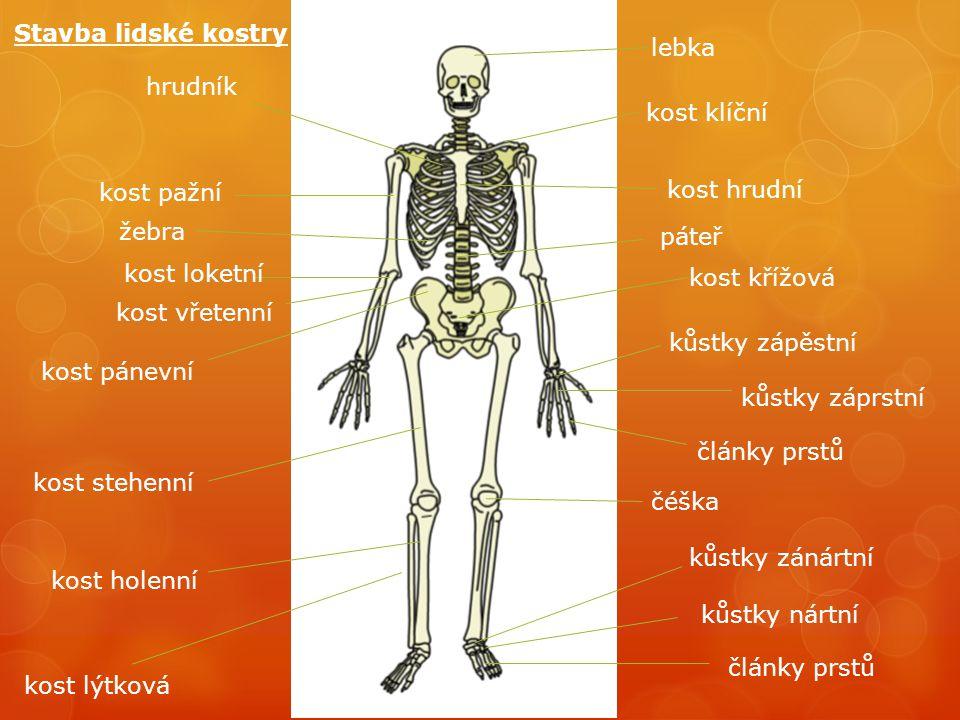 Stavba lidské kostry lebka. hrudník. kost klíční. kost pažní. kost hrudní. žebra. páteř. kost loketní.