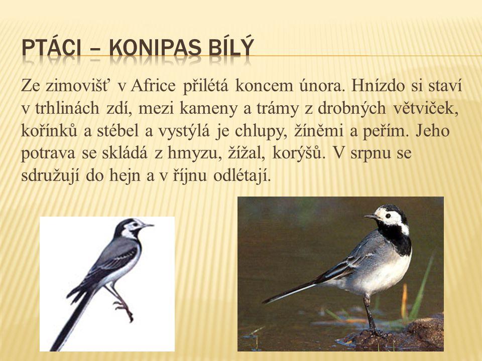 ptáci – konipas bílý