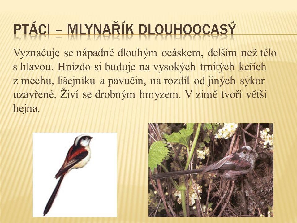 ptáci – mlynařík dlouhoocasý