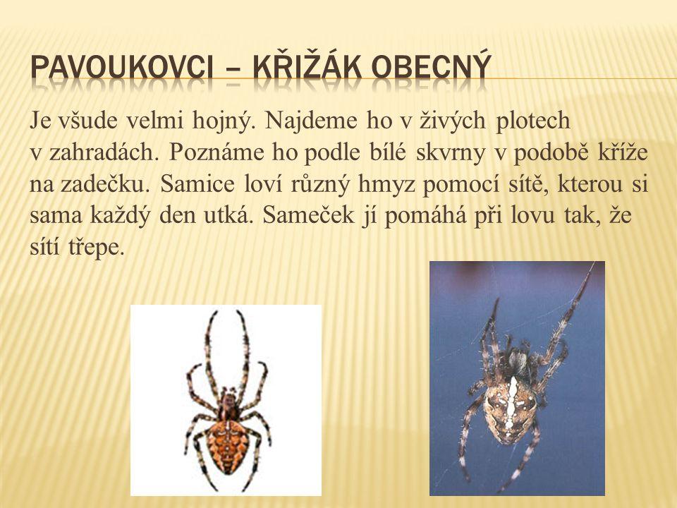 pavoukovci – křižák obecný