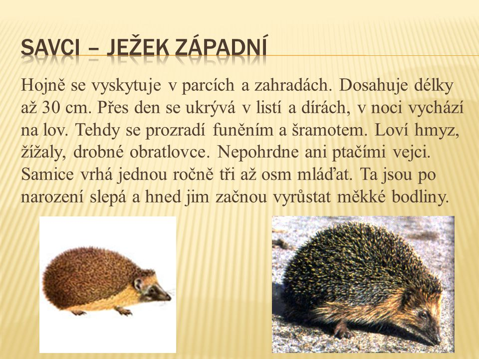 Savci – ježek západní