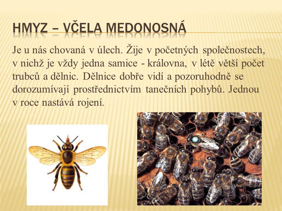 hmyz – včela medonosná