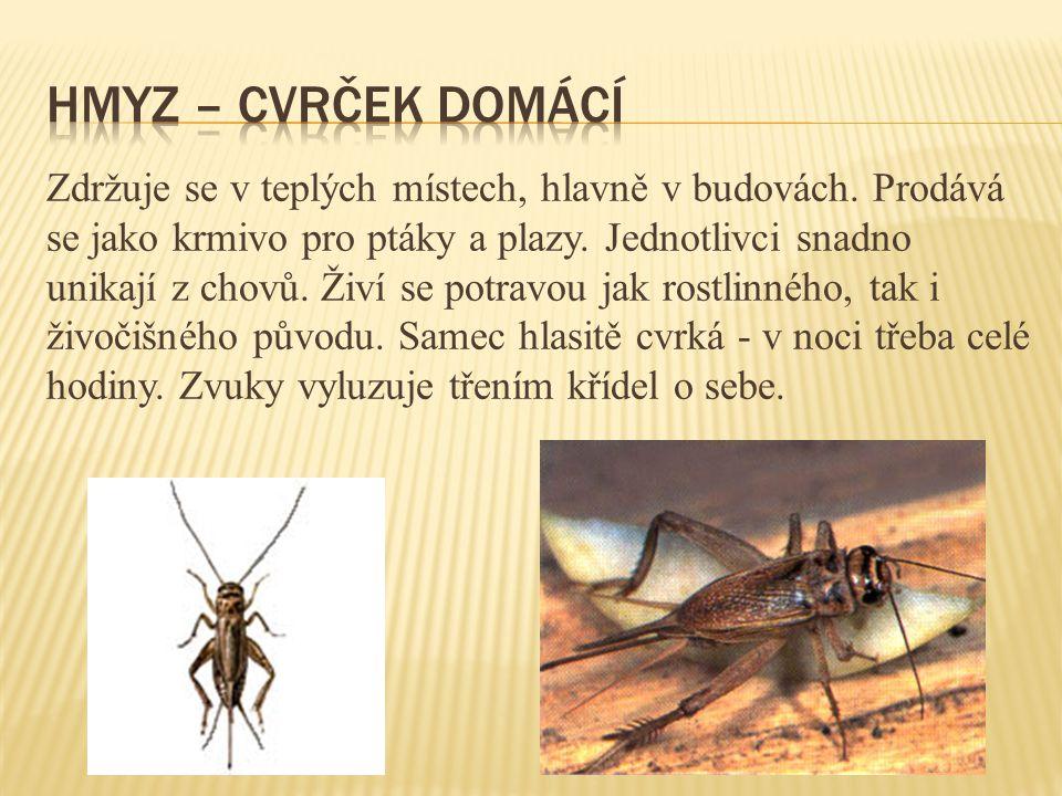 hmyz – cvrček domácí