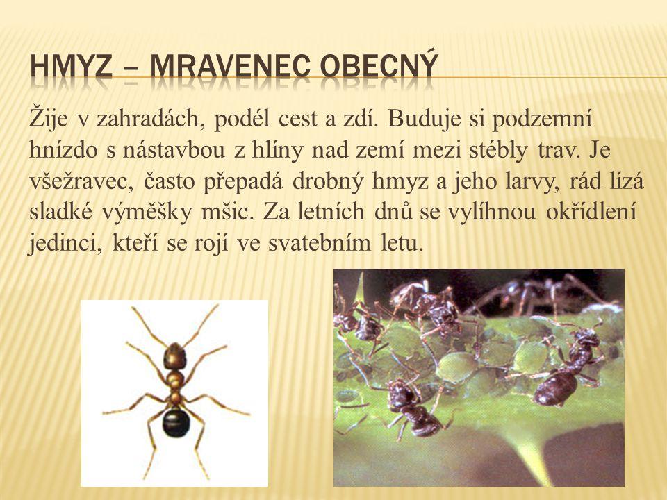hmyz – mravenec obecný