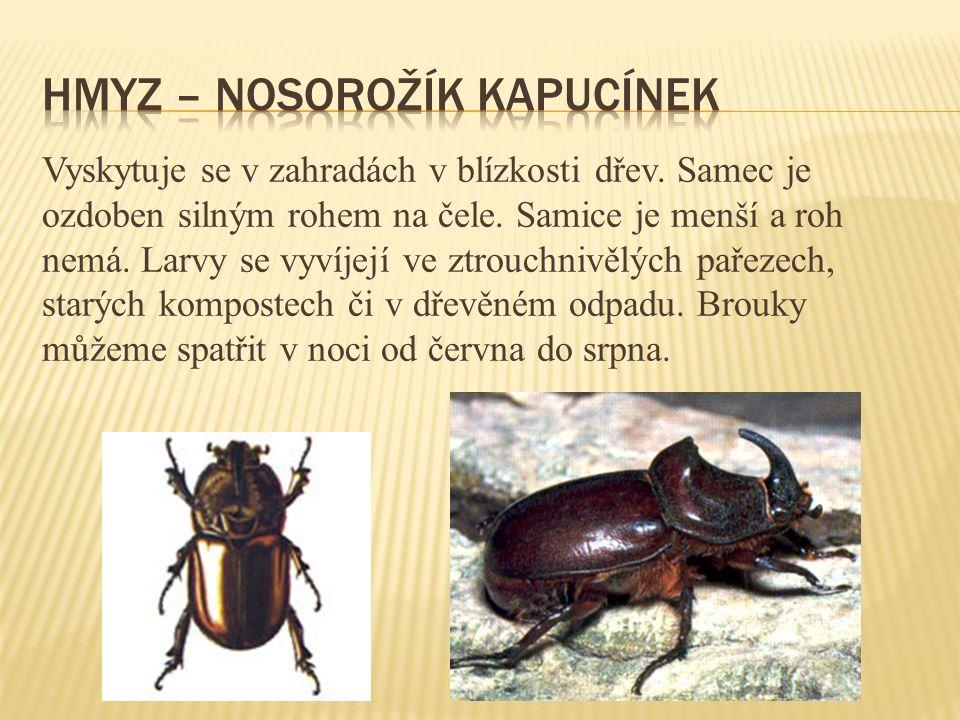 hmyz – nosorožík kapucínek