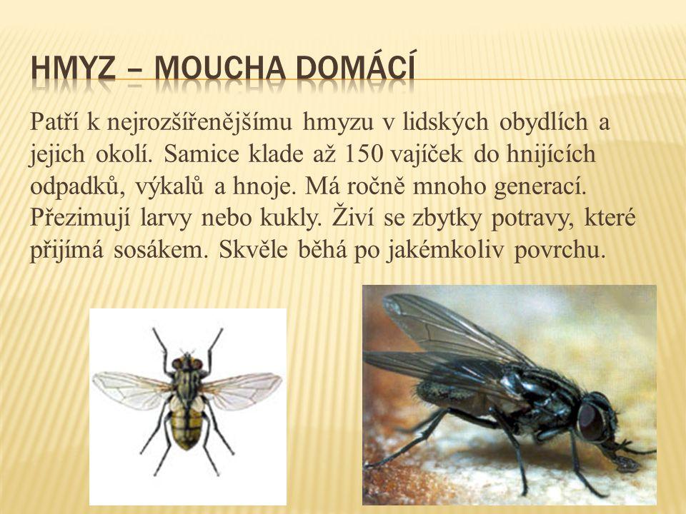 hmyz – Moucha domácí