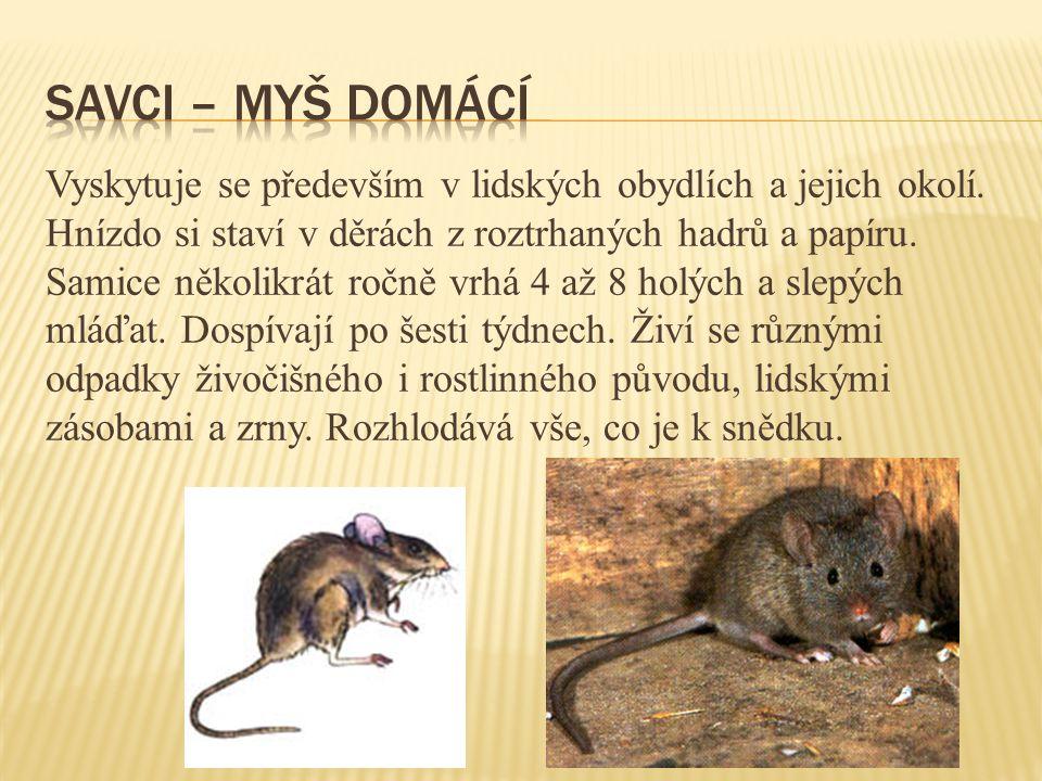 Savci – myš domácí