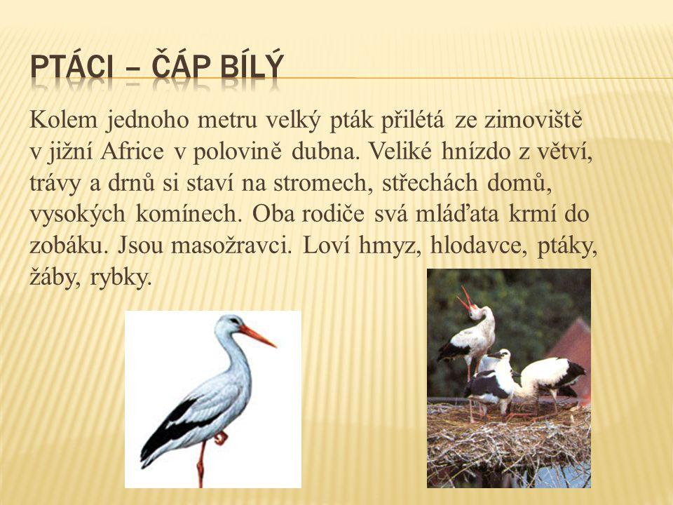 ptáci – čáp bílý