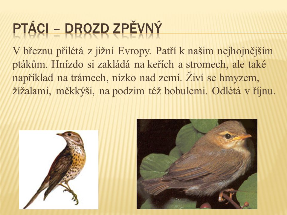 ptáci – drozd zpěvný