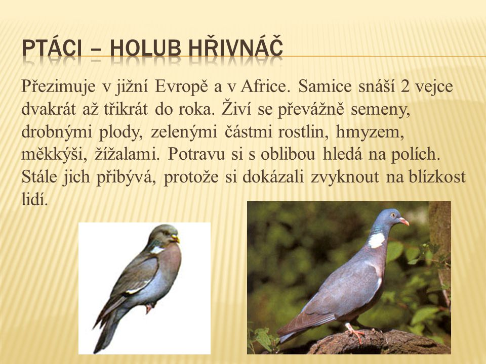 ptáci – holub hřivnáč