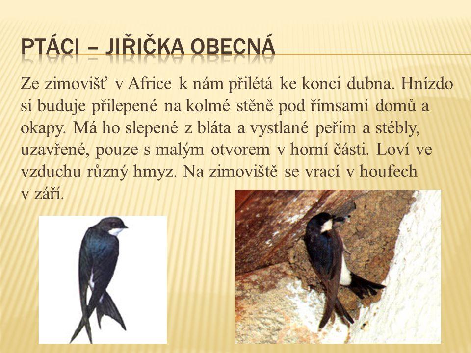ptáci – jiřička obecná