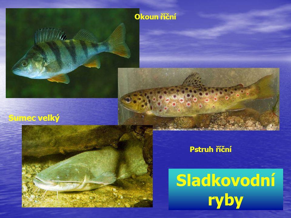 Okoun říční Sumec velký Pstruh říční Sladkovodní ryby